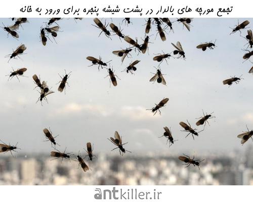 جمعیت مورچههای بالدار در فصل بهار و تابستان به ناگهان افزایش می یابد