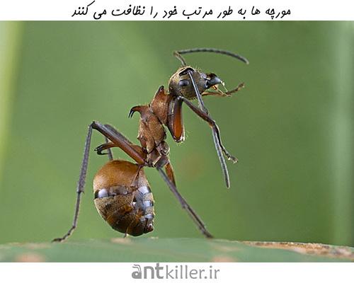 انتقال بیماری از مورچه نادر است.