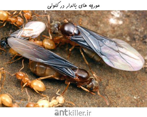 مورچه های بالدار در کلونی