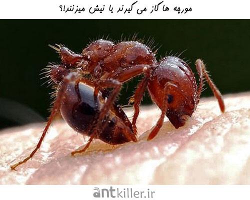 گزش مورچه یا نیش مورچه ؟