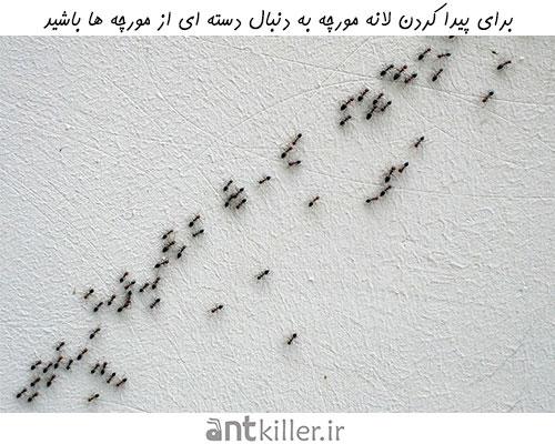 برای پیدا کردن لانه مورچه به دنبال دسته ای از مورچه ها باشید