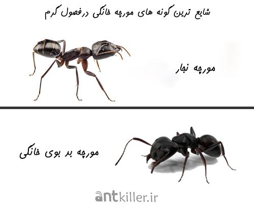 شایعترین انواع مورچه ها در خانه