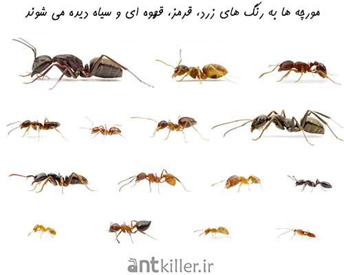 انواع مورچه ها به رنگ های مختلف دیده می شوند