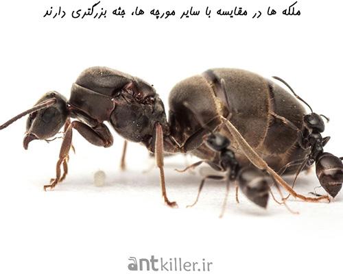 مقایسه ملکه با سایر مورچه های کلونی