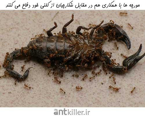 دفاع مورچهها از کلونی در مقابل شکارچیان