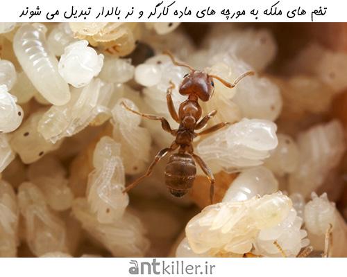 تبدیل تخم ها به کارگران و مورچه های نر در کلونی مورچه ها