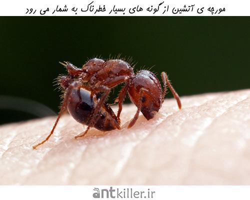 خطرات ناشی از جمعیت مورچه های آتشین