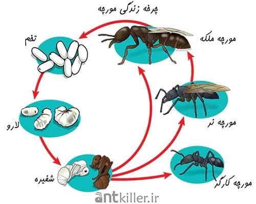 چرخ زندگی مورچه