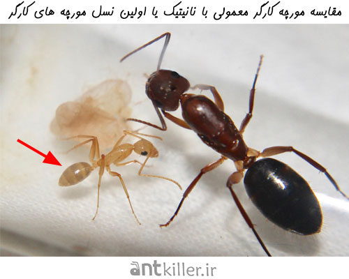 نانیتیک ها اولین نسل کارگران در چرخه کلونی مورچه ها