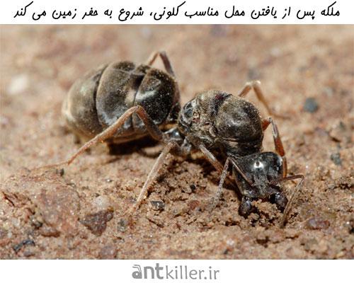 کندن زمین توسط مورچه ملکه برای ساخت کلونی مورچه