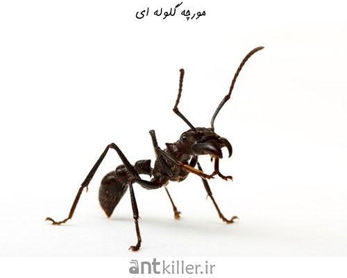 مورچه گلوله ای - خطرناک ترین مورچه های جهان