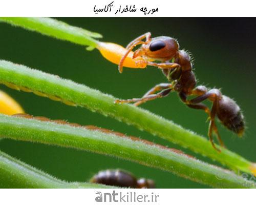 نیش مورچه در مورچه شاخدار آکاسیا