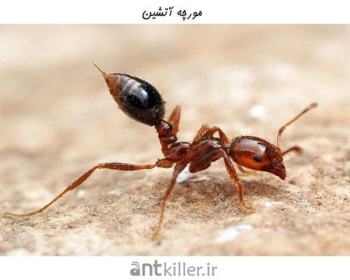 نیش مورچه آتشین