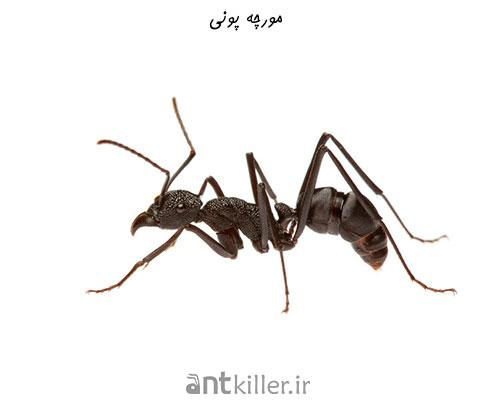 نیش مورچه پونی
