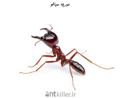 مورچه سیافو - خطرناک ترین مورچه های جهان