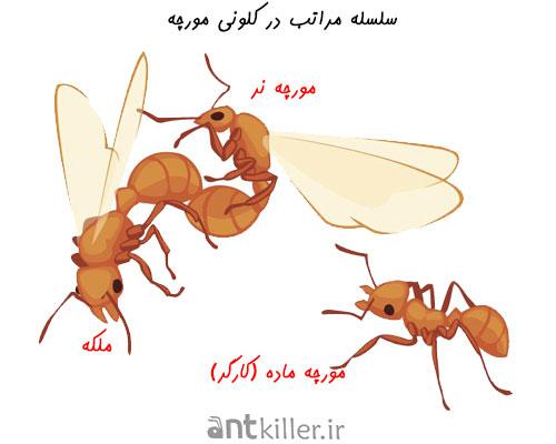 بررسی عادات و رفتار مورچه ها در سلسله مراتب کلونی