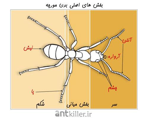 بخش های اصلی بدن در انواع مورچه
