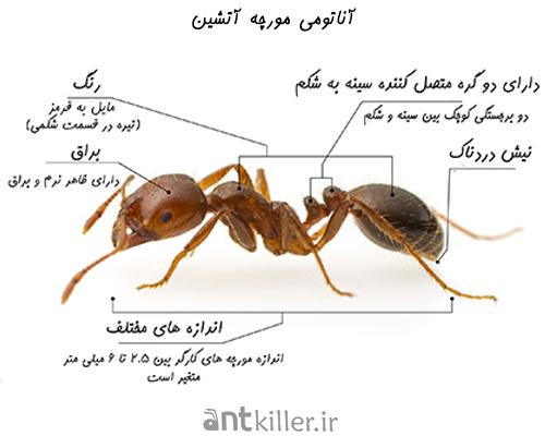 آناتومی و نیش مورچه های آتشین