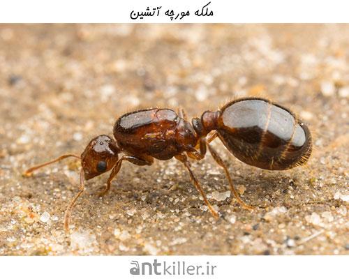 مورچه ملکه در لانه مورچه های آتشین