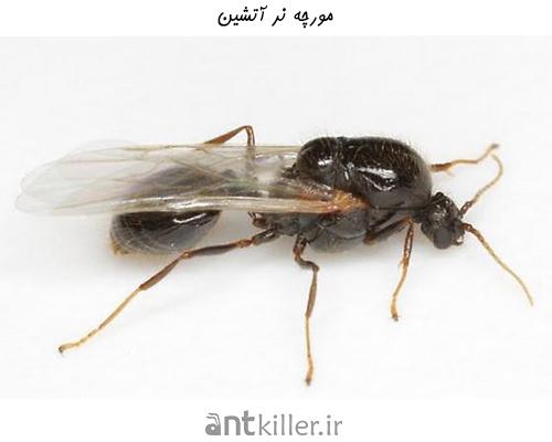 مورچه های نر و نقش آن ها در لانه مورچه های آتشین