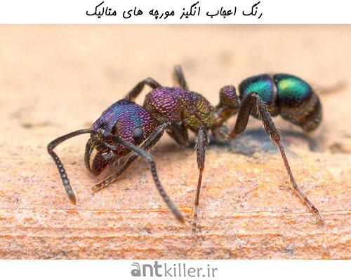 بررسی رنگ در انواع مورچه ها