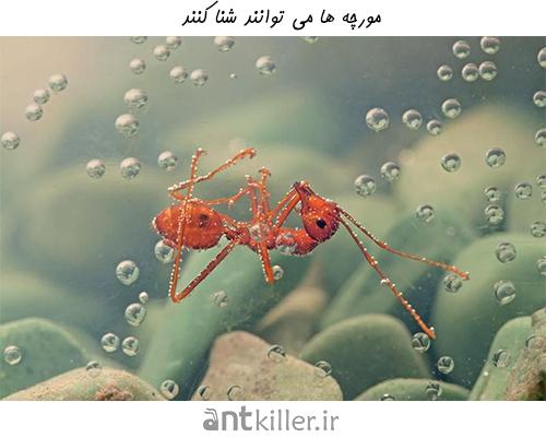 مورچه ها می توانند شنا کنند