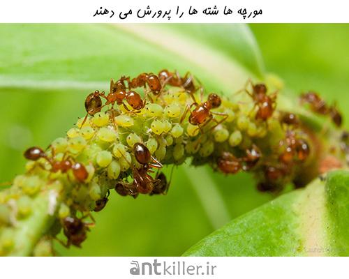 مورچه ها شته ها را پرورش می دهند