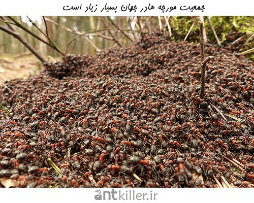 جمعیت مورچه هادر جهان بسیار زیاد است