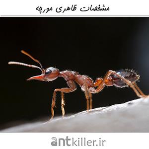 مشخصات ظاهری مورچه