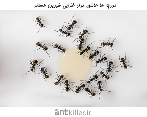 مورچه ها عاشق مواد غذایی شیرین هستند