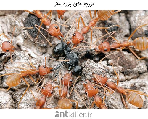 مورچه های برده ساز